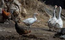 WHO: H7N9 tiến hóa, gây bệnh nặng hơn cho gia cầm