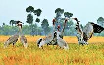 Sếu đầu đỏ về lại đồng cỏ bàng Phú Mỹ