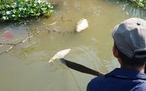Vi khuẩn Aeromonas caviaelàm cá chết bất thường ở Quảng Nam