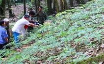 Một hộ dân ở Quảng Nam bị trộm 500 gốc sâm Ngọc Linh