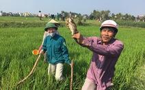Bị tấn công 2.000 hecta lúa, Quảng Ngãi phát động diệt chuột
