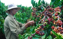 Làm ăn gian dối làm hại hạt cà phê