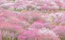 Ngắm nước Nhật đẹp mơ màng mùa hoa mận