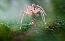 Các loài nhện tiêu thụ tới hàng triệu tấn côn trùng mỗi năm