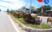 Phú Quốc bất lực với bò thả rông?
