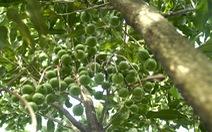 Tây Nguyên cần thận trọng khi mở rộng diện tích cây mắcca