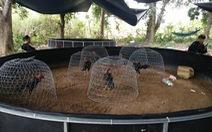 50 người bị bắt tại trường gà lớn ở Nha Trang