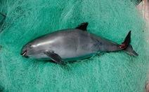 Bảo tồn loài cá heo nhỏ nhất thế giới đang bên bờ tuyệt chủng