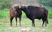 Con đực hậu duệ… bò tót đã có con