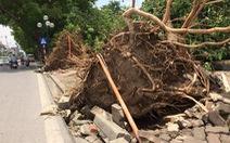 Nhiều cây xanh lớn ở Hà Nội đổ lòi ra không có rễ