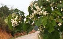 Bình Liêu tháng 4 - mùa hoa trẩu