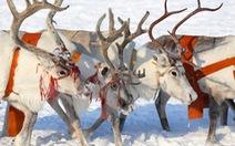 Bắc Cực ngày càng ấm lên đe dọa sự sinh trưởng của loài tuần lộc