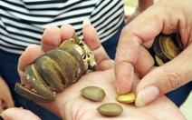 37 học sinh lại nghi ngộ độc do ăn hạt ngô đồng