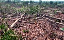 Đang đợi đền bù, 10ha rừng tràm bỗng dưng bị đốn sạch