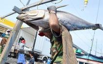 Thí điểm chuỗi cá ngừ chưa thành công