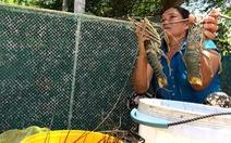 Hơn 10.000 con tôm hùm chết nghi do thiếu ôxy
