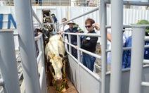 Tập đoàn TH nhập gần 1.300 con bò sữa cao sản từ Mỹ