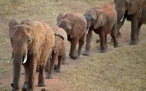 Uganda điều tra nhà ngoại giao Trung Quốc buôn ngà voi