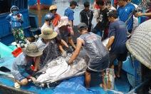 Câu được cá ngừ 280kg nhưng không bảo quản được