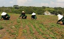 Tiềm năng phát triển cây dược liệu ở Kon Tum