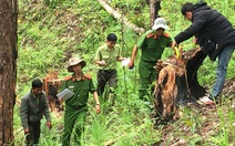 Lâm Đồng: Lâm tặc chặt hạhàng loạt cây thông 3 lá