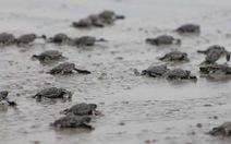 Thả rùa về biển phải trả tiền, có hợp lý?