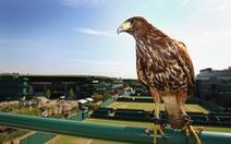 """Rufus - chú chim ưng 10 năm """"bá chủ"""" Wimbledon"""