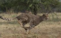 Loài to, nhỏ và vừa, loài nào chạy nhanh nhất?