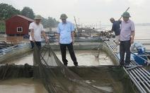 Phú Thọ thiệt hại hơn 150 tấn cá lồng