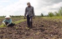 Giá khoai lang rớt còn 800 đồng/kg, nông dân bỏ ruộng