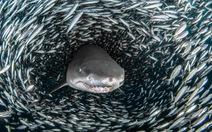 Ngoạn mục cá mập bơi giữa 'quả cầu cá' khổng lồ