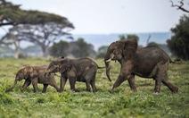 Malawi di dời 520 con voi trong 2 năm