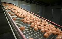 Châu Âu bắt đầu thu hồi trứng gà nhiễm độc