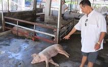 Heo chết bất thường ở Nha Trang