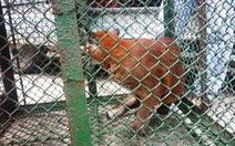Thu giữ 3 con báo nuôi nhốt trái phép tại Công viên nước Củ Chi