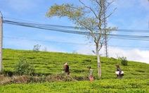 Bản sắc Việt: Đồi chè Cầu Đất xanh ngát ở Đà Lạt