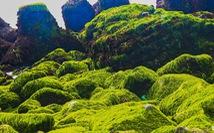Bãi rêu 'tóc xanh' trên con đường đẹp nhất Nha Trang