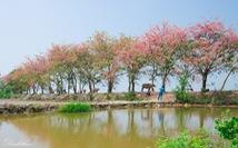 Thương ơi là thương chùm bông ô môi rực hồng tháng 3 miền Tây