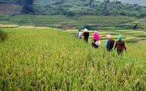 Mùa gặt 'hạt vàng' ở ruộng bậc thang Y Tý