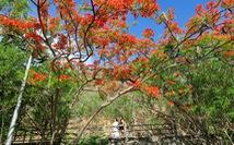 Rợp trời con đường hoa phượng đỏ ở Vũng Tàu