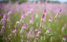 Cánh đồng hoa dền cát 'trời cho' đẹp lạ lùng ở Phú Yên