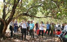 Cuộc chiến giải cứu điều tại 'thủ phủ' Bình Phước