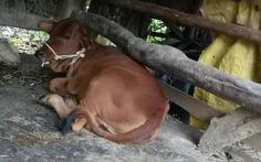 Hỗ trợ người nghèo bò... lở mồm long móng