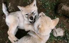 Có thể thuần hóa chó sói thân thiện như chó nhà?