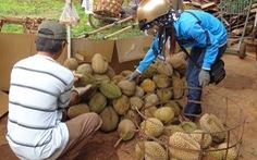 Giá sầu riêng tại Đắk Lắk tăng gần gấp đôi so với năm ngoái
