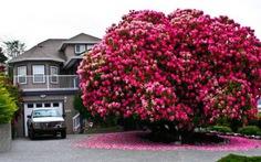 Đi chơi Canada nhớ ngắm cây hoa đỗ quyên 115 năm tuổi