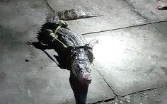 Dân lo lắng khi bắt được cá sấu dài hơn 1m trong vuông tôm
