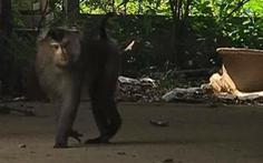 Cả xã mất ăn mất ngủ vì một chú khỉ 'làm giặc'