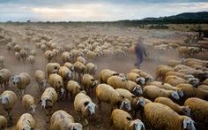 Đàn cừu Ninh Thuận vào top ảnh đẹp của tạp chí NatGeo