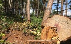 Không tin nổi khi rừng thông cổ thụ bị đốn ngay trước trạm kiểm lâm